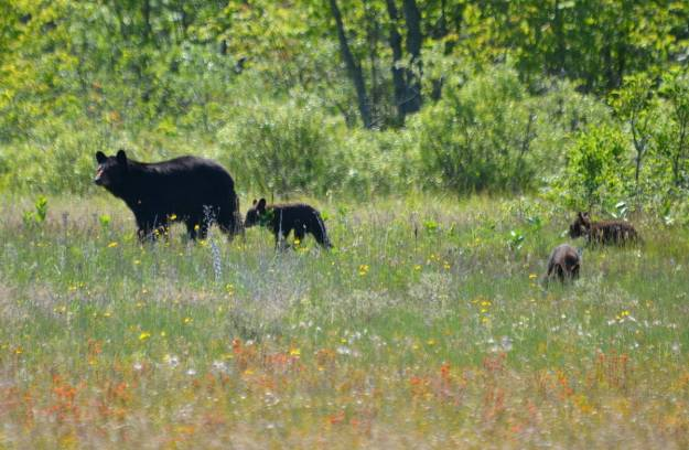 black bear with three cubs at carden alvar, cameron ranch, ontario, pic 9