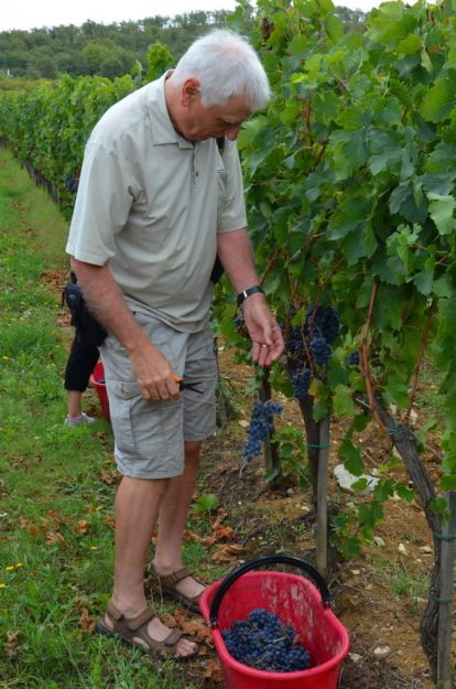 bob cuts grapes from the vine at il colombaio di cencio vineyard, gaiole in chianti, itay