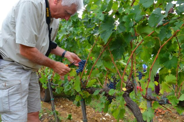 bob cuts grapes off the vine at il colombaio di cencio vineyard, gaiole in chianti, itay