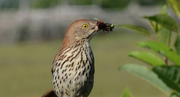 brown thrasher holding bugs at carden alvar, cameron ranch, kawartha lakes, ontario
