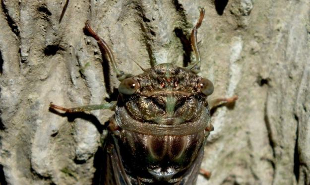 closeup of the head and eyes of a cicada in a garden in toronto, ontario
