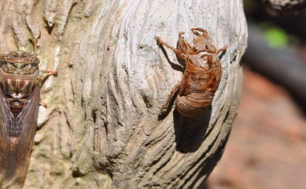 cicada resting beside its exoskeleton in a garden in toronto, ontario