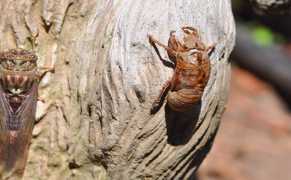 Dog Day Cicada Ontario