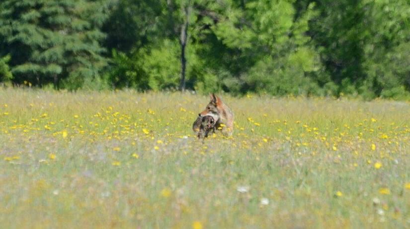 coyote with prey in mouth at carden alvar, cameron ranch, ontario