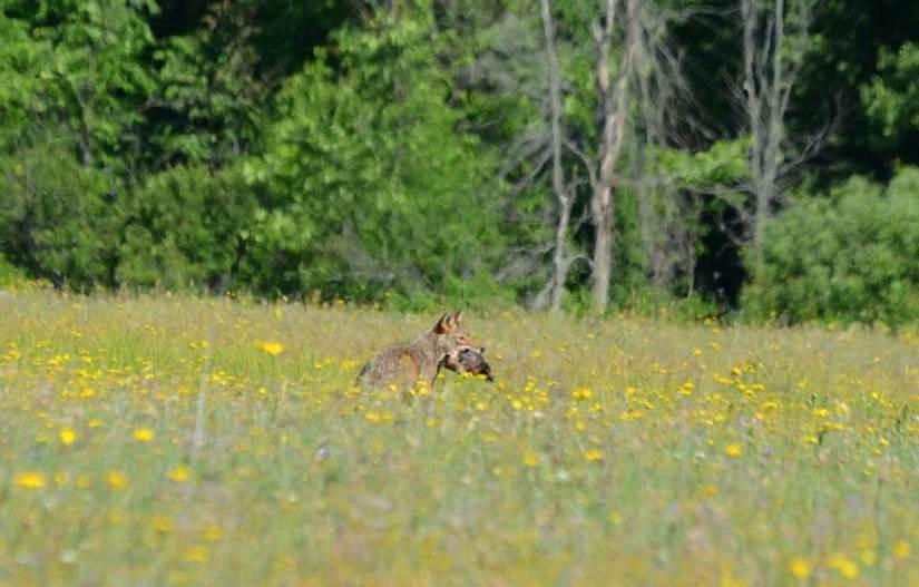 coyote with prey in mouth at carden alvar, cameron ranch, ontario, 3