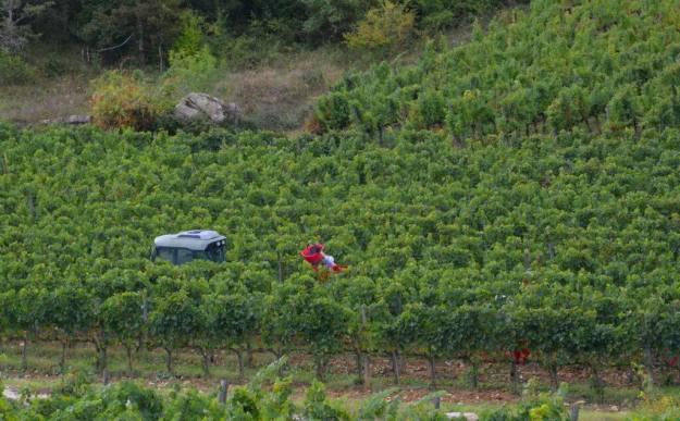 grape vines growing in fields at ll colombaio di cencio Vineyard, gaiole in chianti, itay