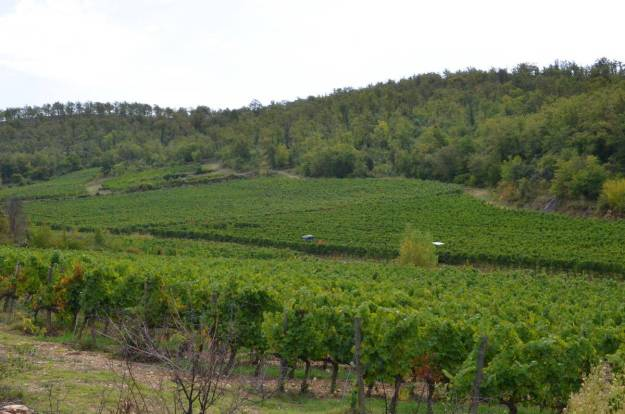 grape vines growing in the vineyard at ll colombaio di cencio, gaiole in chianti, itay