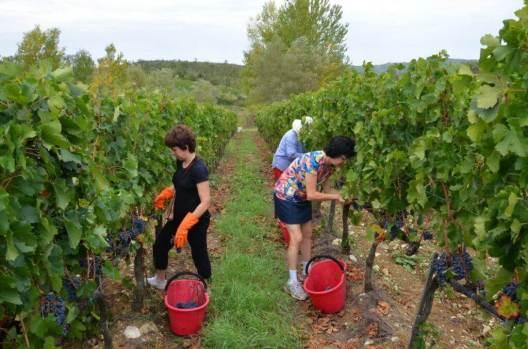 jean assists in cutting grapes from the vine at il colombaio di cencio vineyard, gaiole in chianti, itay