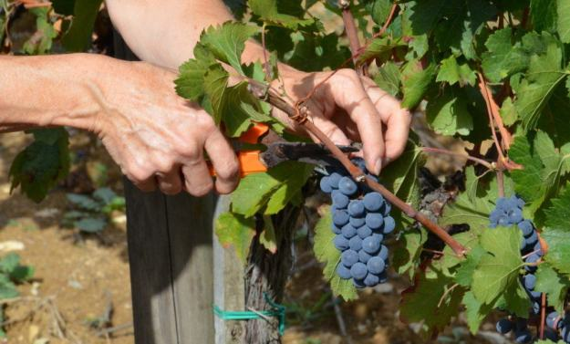 jean cuts bunch of grapes from the vines at il colombaio di cencio vineyard, gaiole in chianti, itay