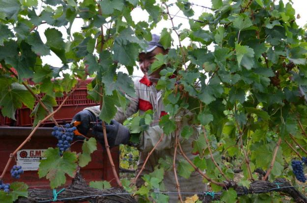 man cutting grapes from a vine at il colombaio di cencio vineyard, gaiole in chianti, itay