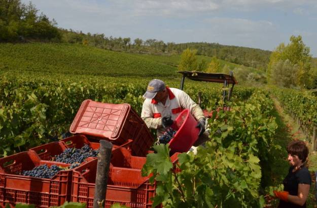 man dumps grapes into basket on grape wagon at il colombaio di cencio vineyard, gaiole in chianti, itay