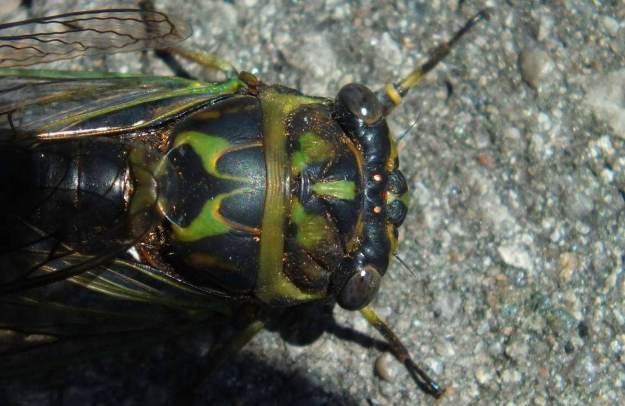closeup of the top of a cicada's head in a garden in toronto, ontario