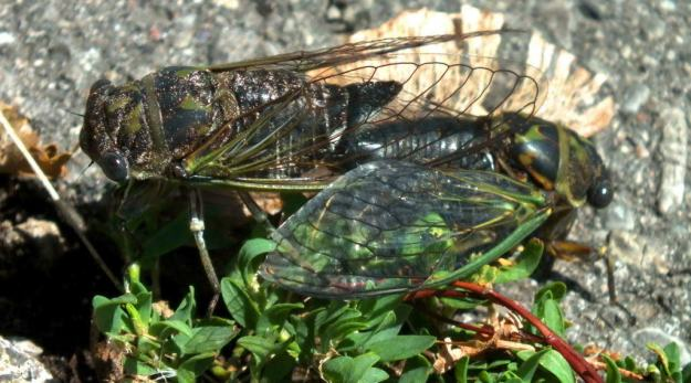 two cicadas mating among plants in a garden in toronto, ontario