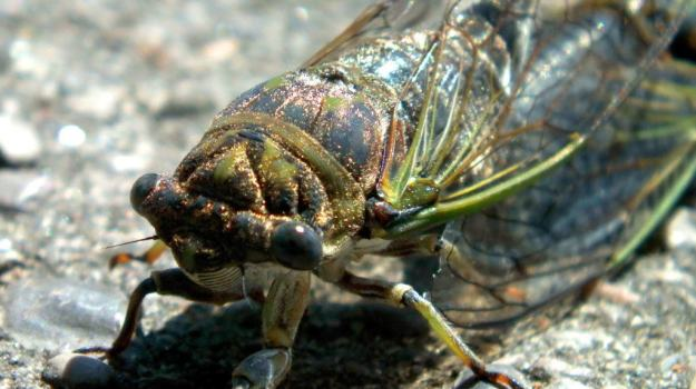 closeup of a cicada's head in a garden in toronto, ontario