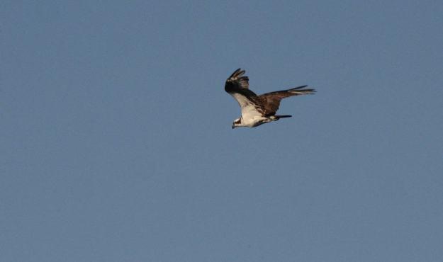 osprey in flight at carden alvar, ontario