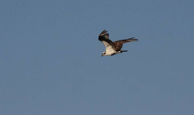 osprey in flight at carden alvar, ontario