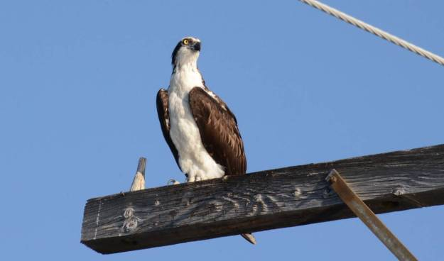 osprey sitting on a hydro pole at carden alvar, ontario