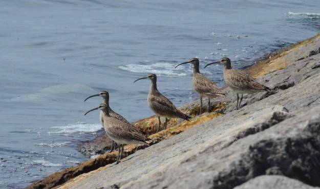 whimbrels along lake ontario, scarborough, ontario 1