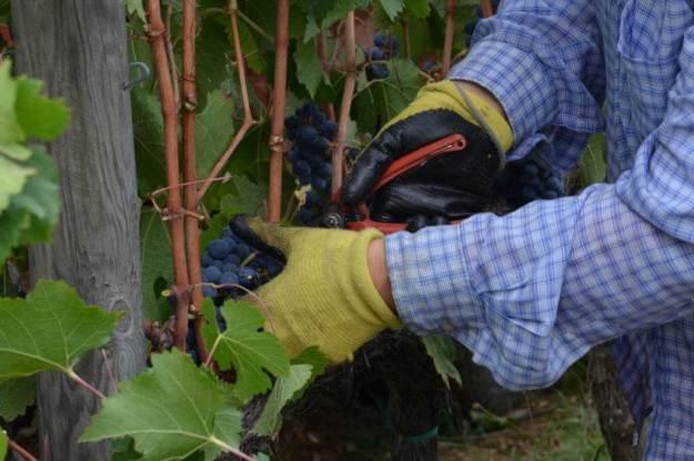 woman cuts grapes from a vine at il colombaio di cencio vineyard, gaiole in chianti, itay
