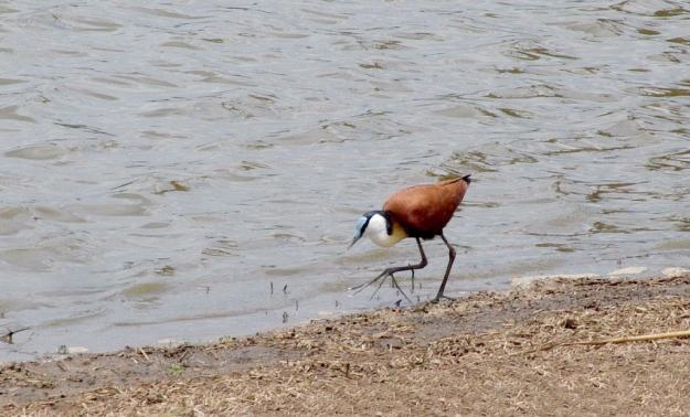 african-jacana-along-the-shoreline-at-sunset-dam-near-lower-sabie-rest-camp-in-kruger-national-park-south-africa-2