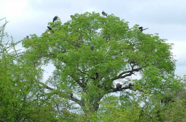 black-storks-sitting-in-a-tree-in-kruger-national-park-south-africa-2