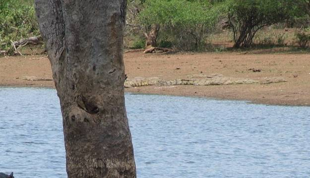 crocodile-on-the-shore-at-sunset-dam-near-lower-sabie-rest-camp-in-kruger-national-park-south-africa