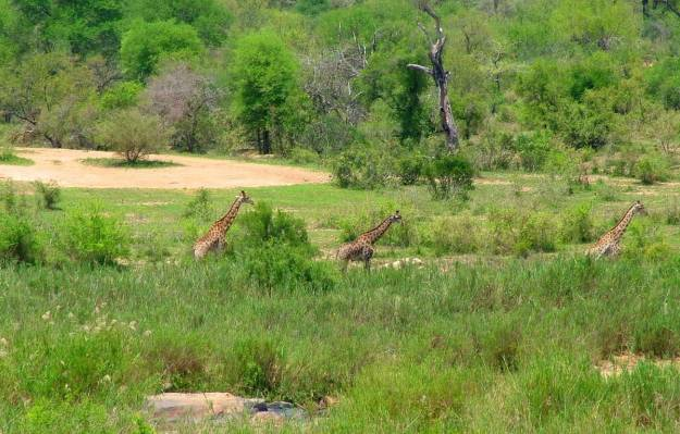 An image of three giraffe on the savannah in Kruger National Park, South Africa. Photography by Frame To Frame - Bob and Jean.