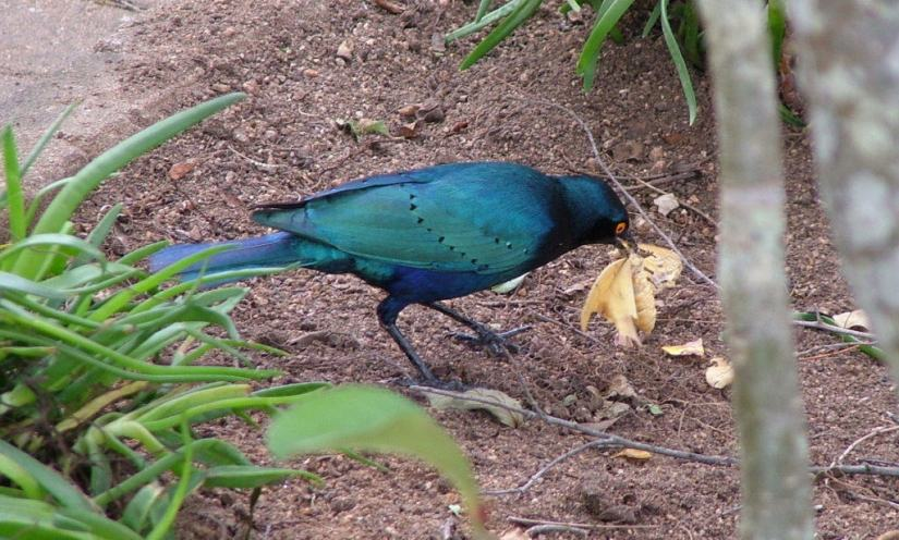An image of a Glossy starling at Skukuza Rest Camp in Kruger National Park, in South Africa. Photography by Frame To Frame - Bob and Jean.