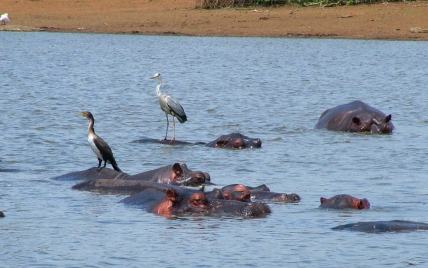 An image of Hippos at Kruger National Park, South Africa.