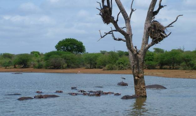 hippopotamus-in-the-water-at-sunset-dam-near-lower-sabie-rest-camp-in-kruger-national-park-south-africa