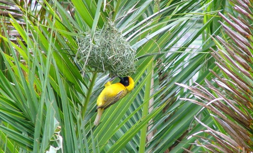 An image of a Lesser masked weaver at Skukuza Rest Camp in Kruger National Park, in South Africa. Photography by Frame To Frame - Bob and Jean.