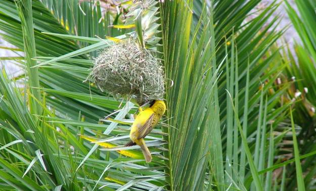 Image of a lesser-masked weaver working on the entrance to its nest at Skukuza Rest Camp in Kruger National