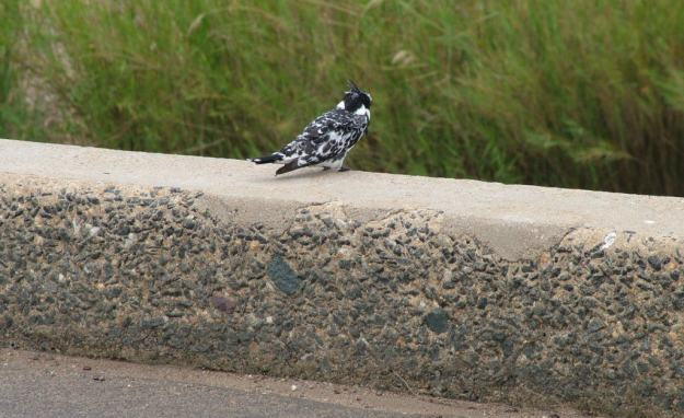 pied-kingbird-sitting-on-a-bridge-in-kruger-national-park-south-africa-1