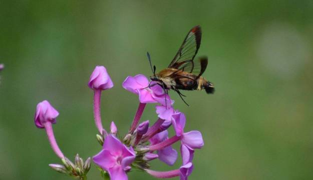 snowberry-clearwing-moth-oxtongue-lake-ontario-8