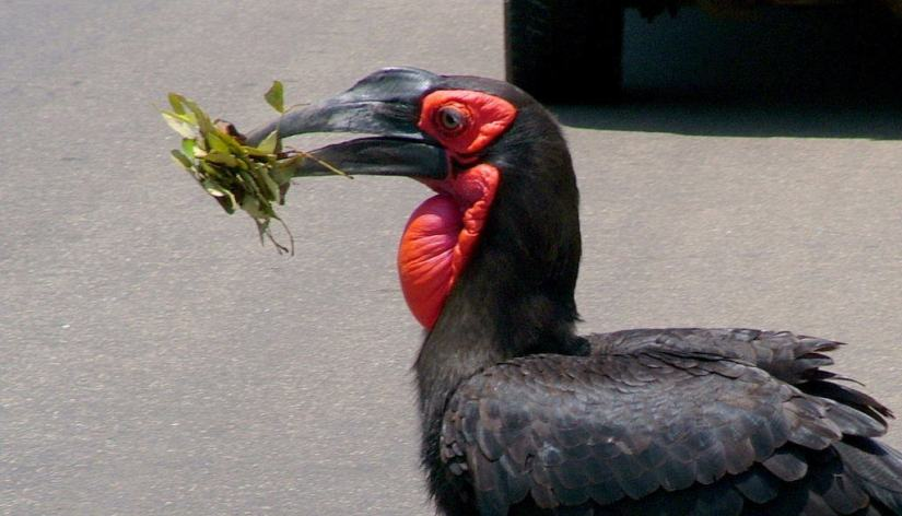 An image of a Southern Ground Hornbill crossing a road in Kruger National Park, South Africa. Photography by Frame To Frame - Bob and Jean.