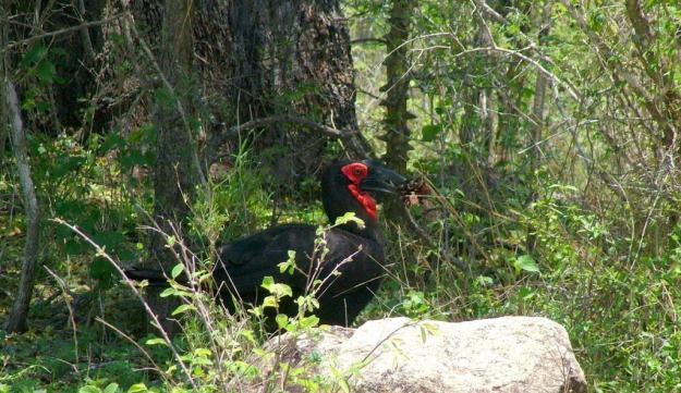 Photo of a Southern Ground Hornbill walking with leaves at Kruger National Park.