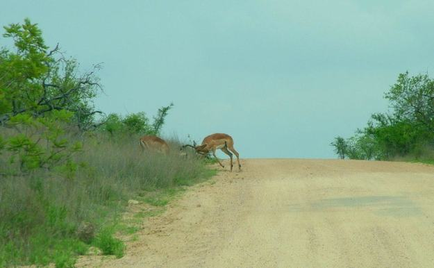 Photo of Two Impala fighting along dirt road in Kruger National Park.