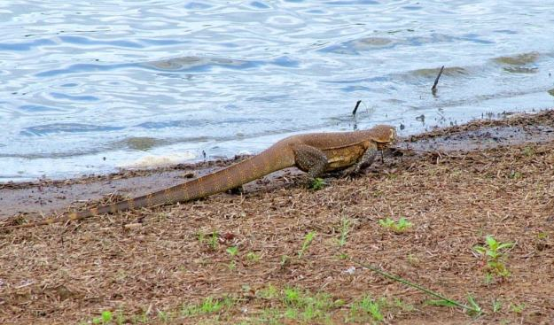 water-monitor-at-sunset-dam-near-lower-sabie-rest-camp-in-kruger-national-park-south-africa