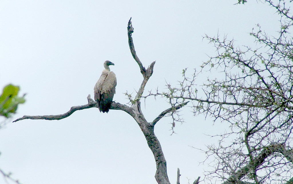 white-backed-vulture-in-tree-at-kruger-national-park-south-africa-1