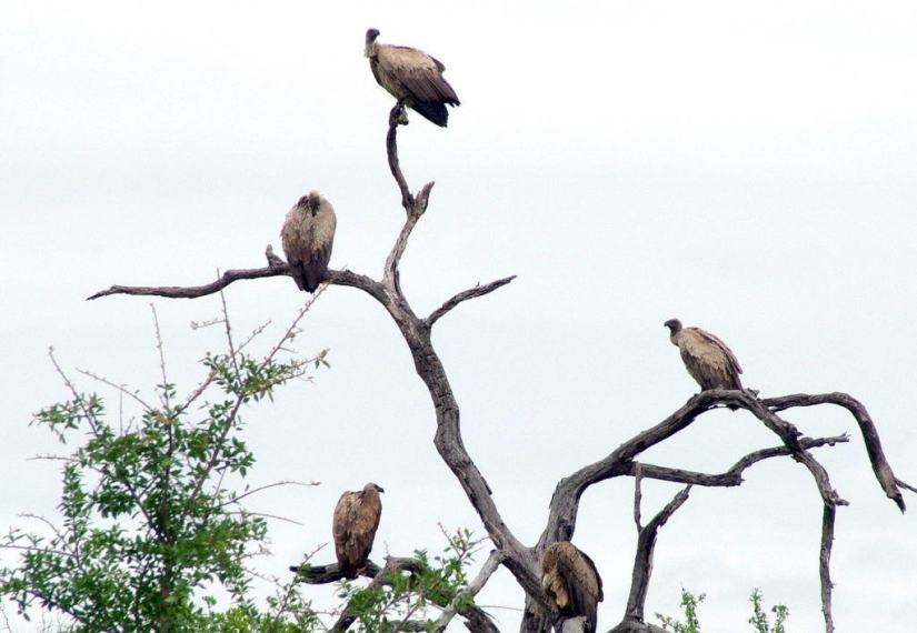 white-backed-vultures-in-tree-at-kruger-national-park-south-africa-1