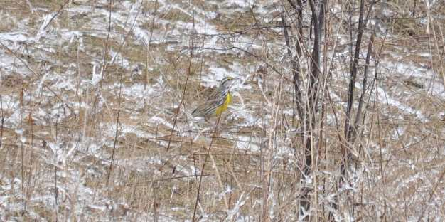 An image of an Eastern meadowlark in early spring at Rouge National Park in Toronto, Ontario.