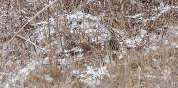 An image of an Eastern meadowlark in early spring among the brown grass at Rouge National Park in Toronto, Ontario.