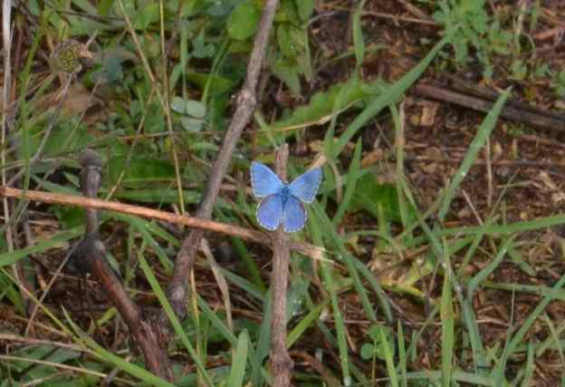 Image of an Adonis Blue Butterfly in Tuscany