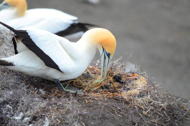 australasian-gannet-builds-a-nest-at-the-muriwai-gannet-colony-waitakere-new-zealand