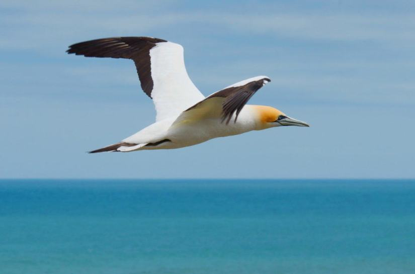 australasian-gannet-in-flight-above-the-muriwai-gannet-colony-waitakere-new-zealand-pic-4