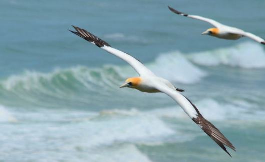 An image of Australasian gannets in flight above the Muriwai Gannet Colony in Waitakere in New Zealand. Photography by Frame To Frame - Bob and Jean.