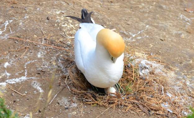 australasian-gannet-with-egg-at-the-muriwai-gannet-colony-waitakere-new-zealand-4