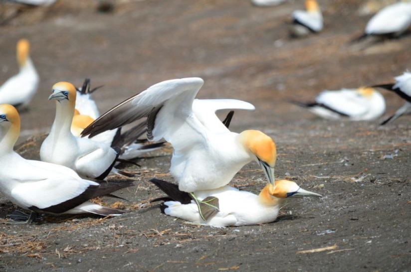 australasian-gannets-breeding-at-the-muriwai-gannet-colony-waitakere-new-zealand-1