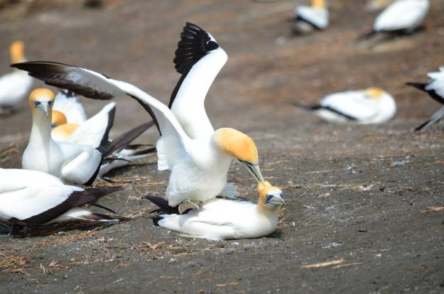 australasian-gannets-breeding-at-the-muriwai-gannet-colony-waitakere-new-zealand-2