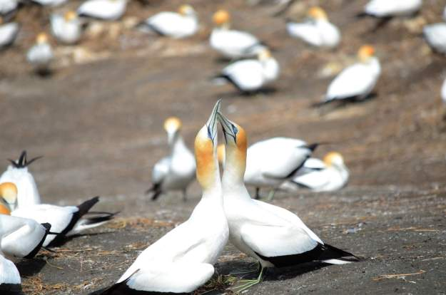 australasian-gannets-mating-at-the-muriwai-gannet-colony-waitakere-new-zealand-2